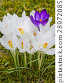 blooming, crocus, flower 28972085