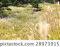 silver grass, zebra grass, japanese pampas grass 28973915