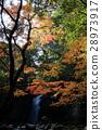 maple, yellow leafe, autumn 28973917