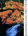 maple, yellow leafe, autumn 28973919