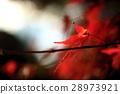 maple, yellow leafe, autumn 28973921