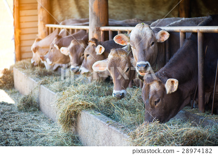 Cows on Farm race Alpine Brown eating hay in the stable 28974182