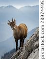 Wild Mountain Goat 28974495