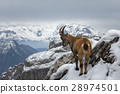 Wild Mountain Goat 28974501