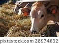 Cows in farm 28974632