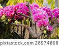 蝴蝶兰 兰花 花朵 28974808