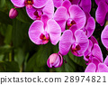 蝴蝶兰 兰花 花朵 28974821