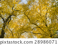 Yellow Linden and Sky 28986071