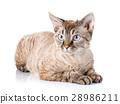 gray devon rex cat with big ears on white 28986211