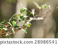 호랑가시나무, 잎, 이파리 28986541