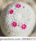 仙人掌 花朵 花卉 28986573