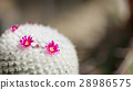 仙人掌 花朵 花卉 28986575