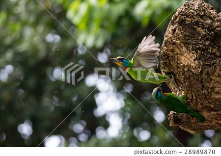 五色鳥 28989870