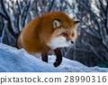 狐狸 動物 野生生物 28990316