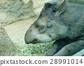 tapir, tapirs, baku 28991014