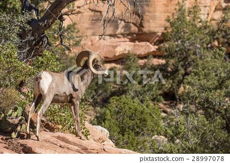 Desert Bighorn Sheep Ram 28997078