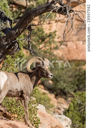 Desert Bighorn Sheep Ram 28997082