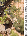 Desert Bighorn Sheep Ram 28997083
