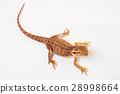 agama animal lizard 28998664