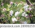 apple, flower, spring 28999259