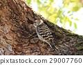 侏儒啄木鳥 啄木鳥 鳥兒 29007760