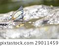Butterfly 29011459