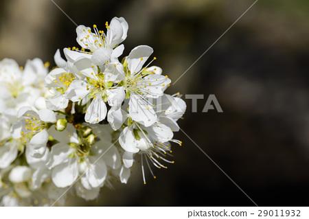 盛開的白色李花 29011932