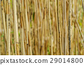 Dry reed background 29014800