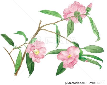 山茶花 唾液 花朵 29016266