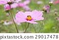 蜜蜂 花朵 花卉 29017478