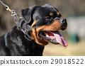 close up of rottweiler dog 29018522