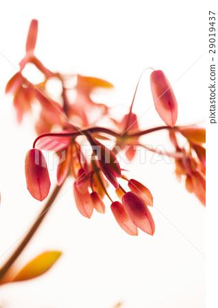 花,蝴蝶之舞錦,多肉植物,Variegata,バタフライダンスカム、多肉植物 29019437