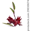 Hibiscus sabdariffa or roselle fruits 29030674