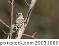 侏儒啄木鳥 啄木鳥家族 小鳥 29031980