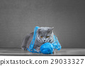 British Blue cat  playing with  ball of yarn 29033327