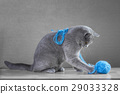 British Blue cat  playing with  ball of yarn 29033328