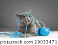 British Blue cat playing with ball of yarn 29033471