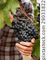 The farmer at harvest grapes 29033822