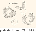 cape goose berry vector 29033838
