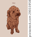 Poodle  dog vector illustration. 29033958