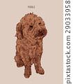 Poodle  dog vector illustration. 29033958