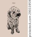 Poodle  dog vector illustration. 29033959