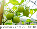 Young Green Tomato in organic farm 29038184