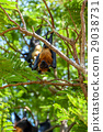 Bat (Flying fox) hanging on a tree 29038731