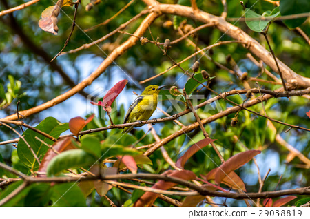 Bird (Common Iora) on a tree 29038819