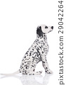 Young dalmatian sitting from the side 29042264