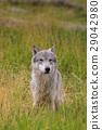 Gray Wolf 29042980