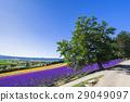 富良野のラベンダー花畑 29049097