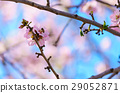 Blossoming peach tree branch 29052871