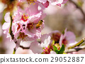 Blossoming peach tree 29052887